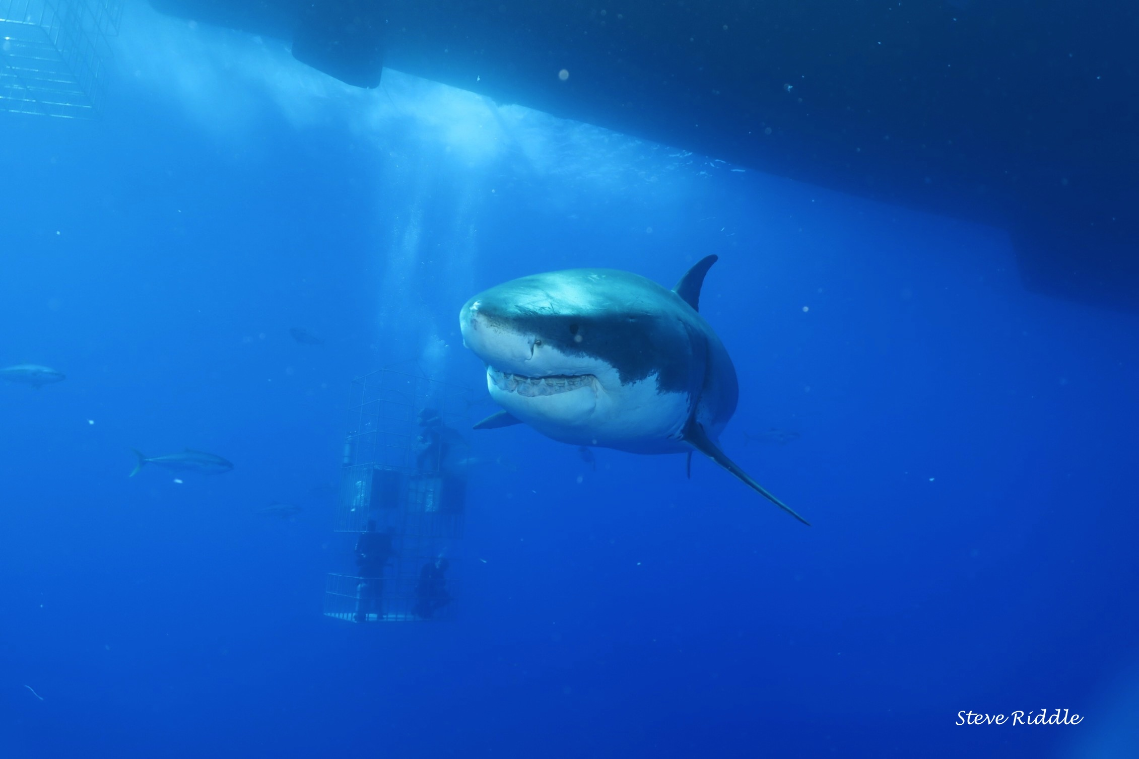 great white shark with divers behind him