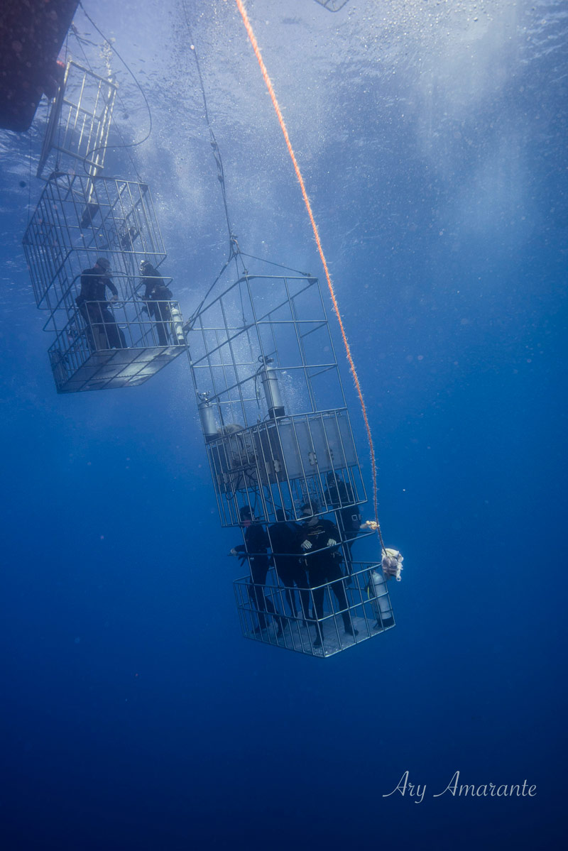 cage diving with great white sharks off guadalupe