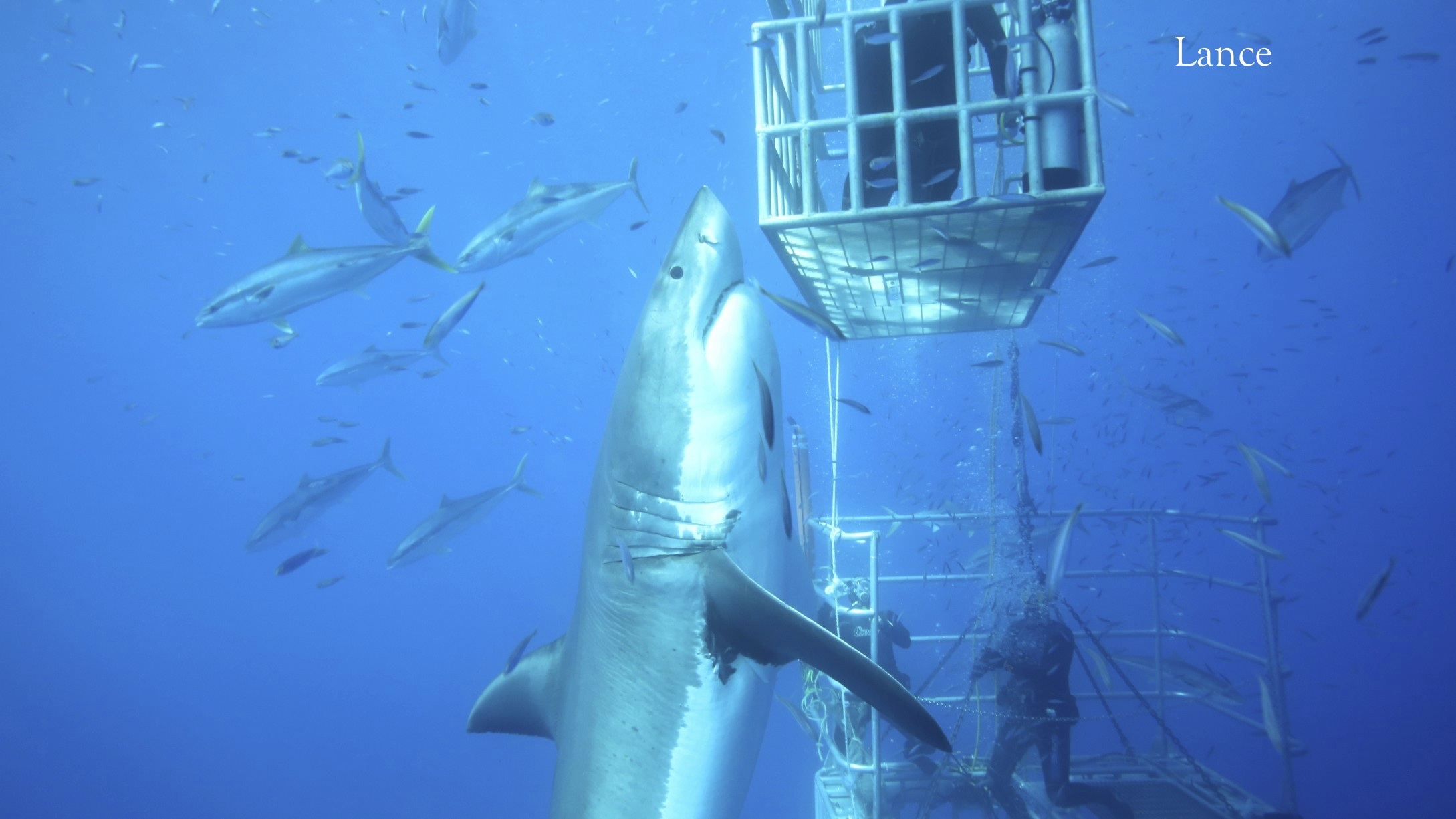 great white shark up close with divers