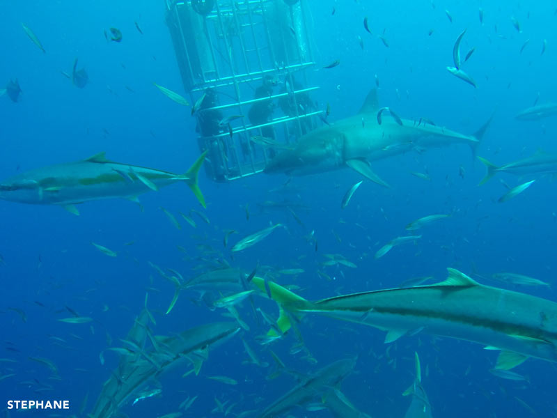 tons of fish and great white sharks at guadalupe island