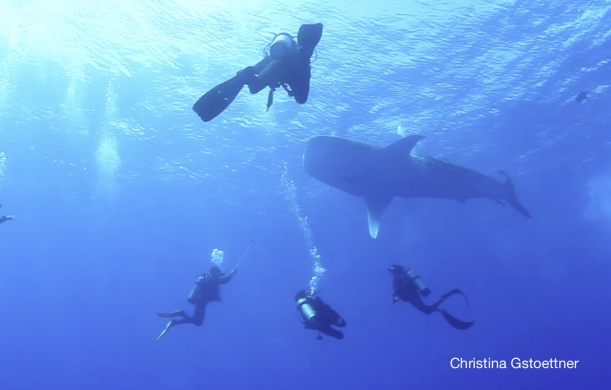 3 divers with whale shark