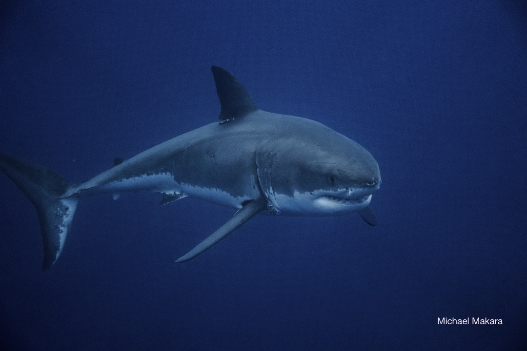 Diving with great white sharks - Nautilus