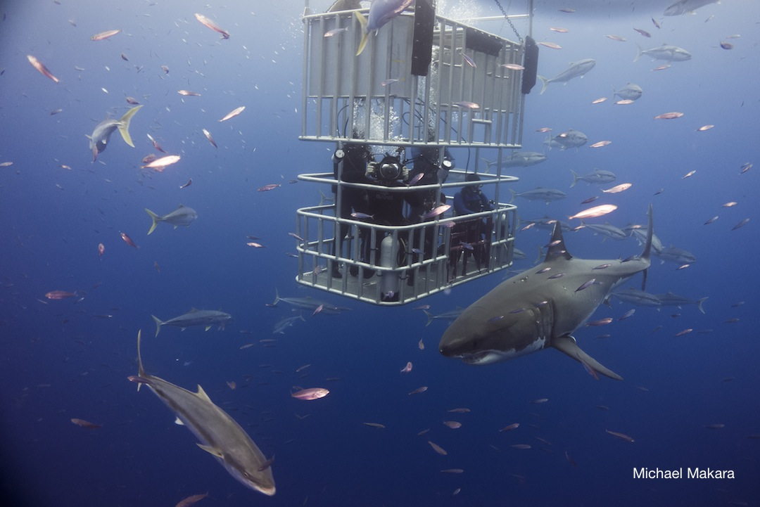 great white sharks outside of submersible cage