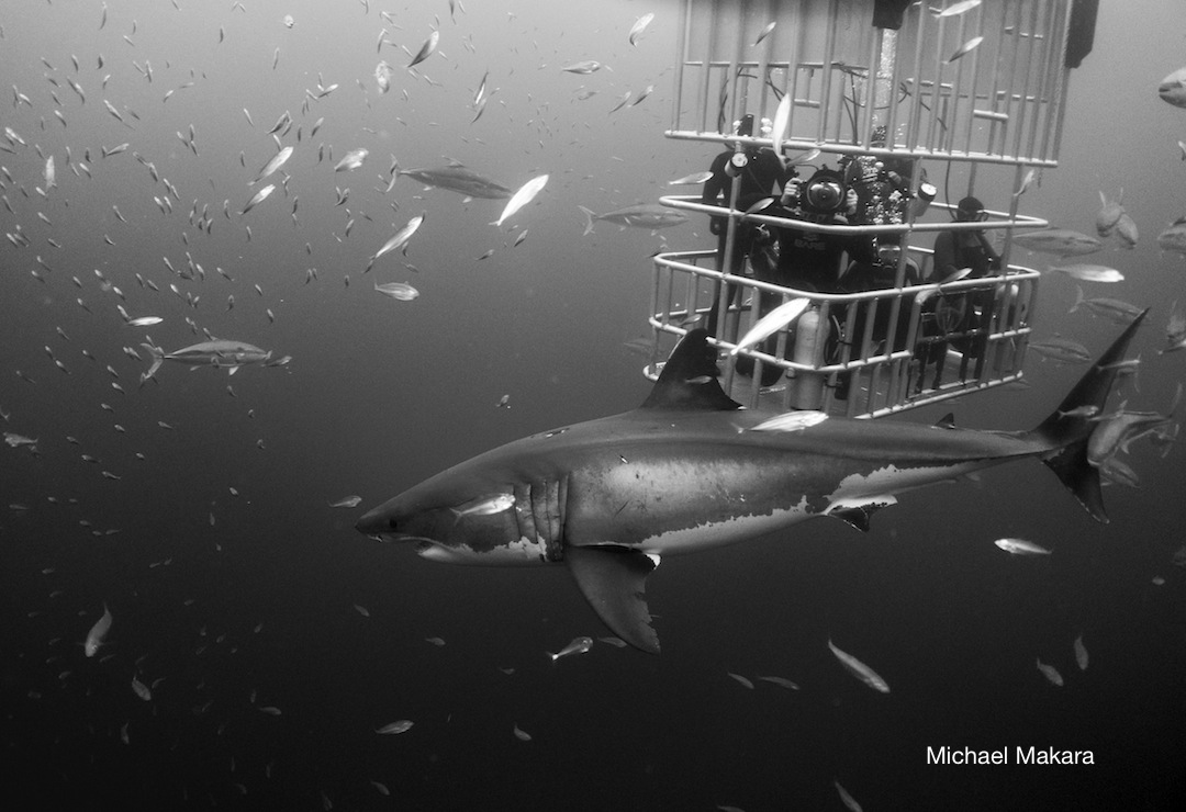 great white shark and divers in the Nautilus submersible cages