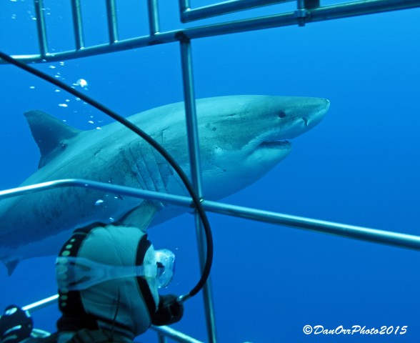 Diver in submersible cage viewing Great White Sharks