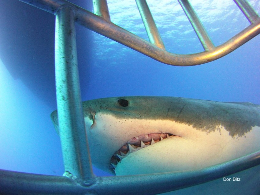great white shark from Nautilus Explorer submersible cage