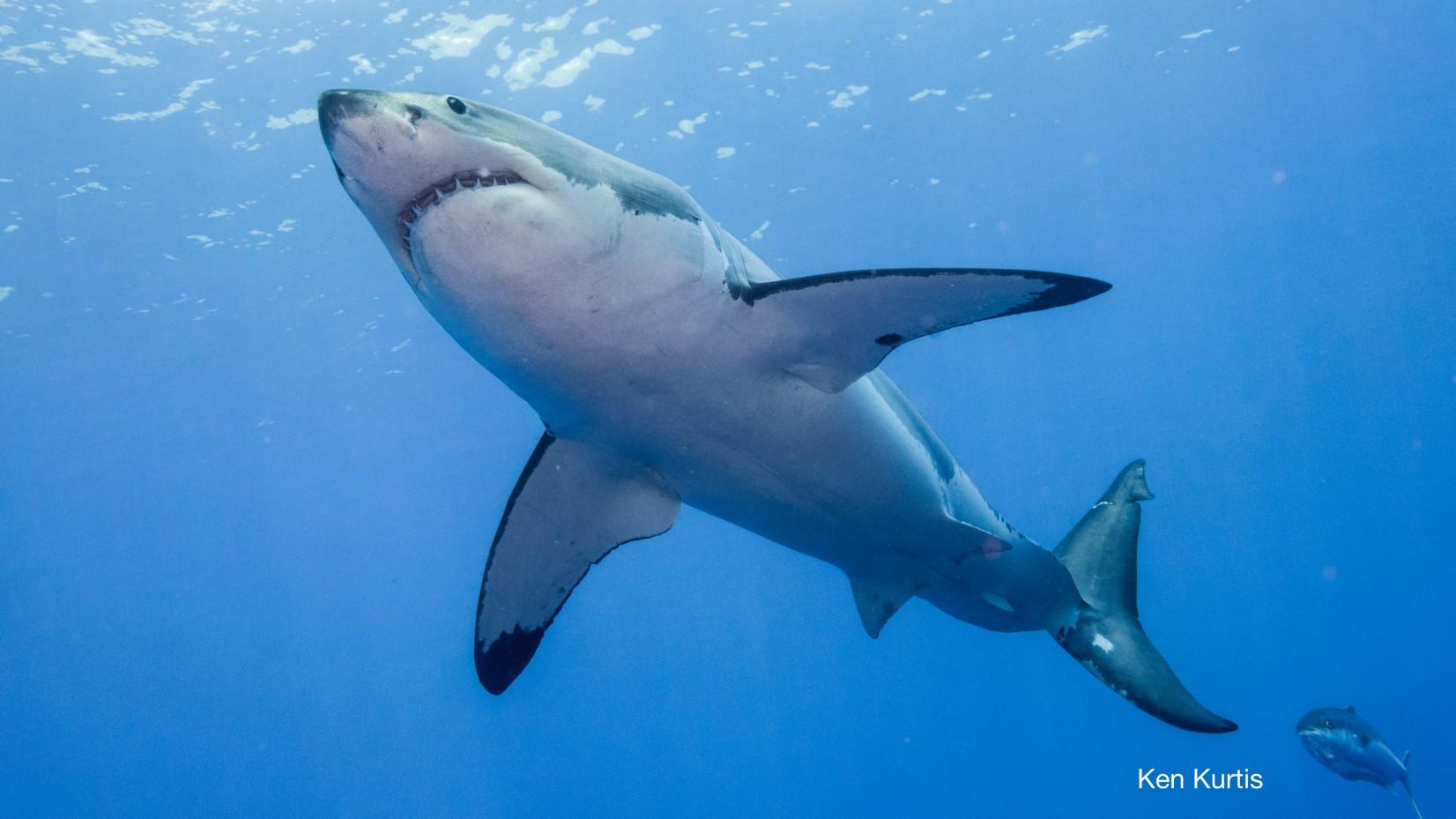 great white shark and tuna