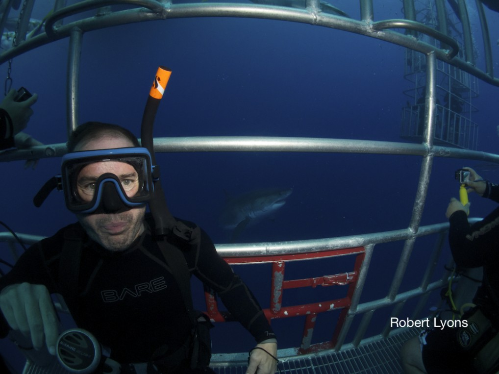 Diver in the submersible cage with a great white shark behind him