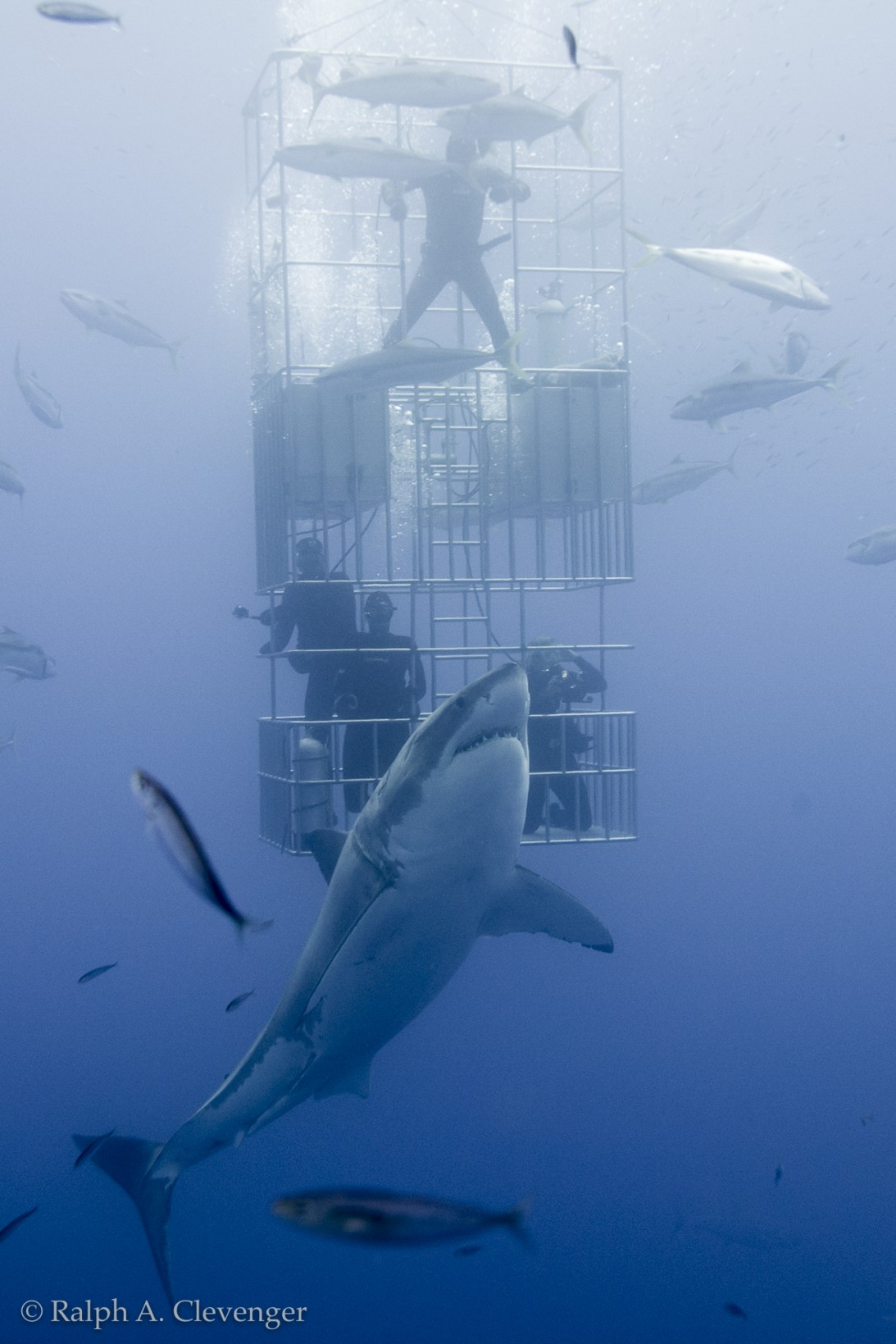 Great white shark and submersible cage