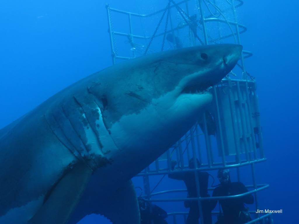 female great white shark up close