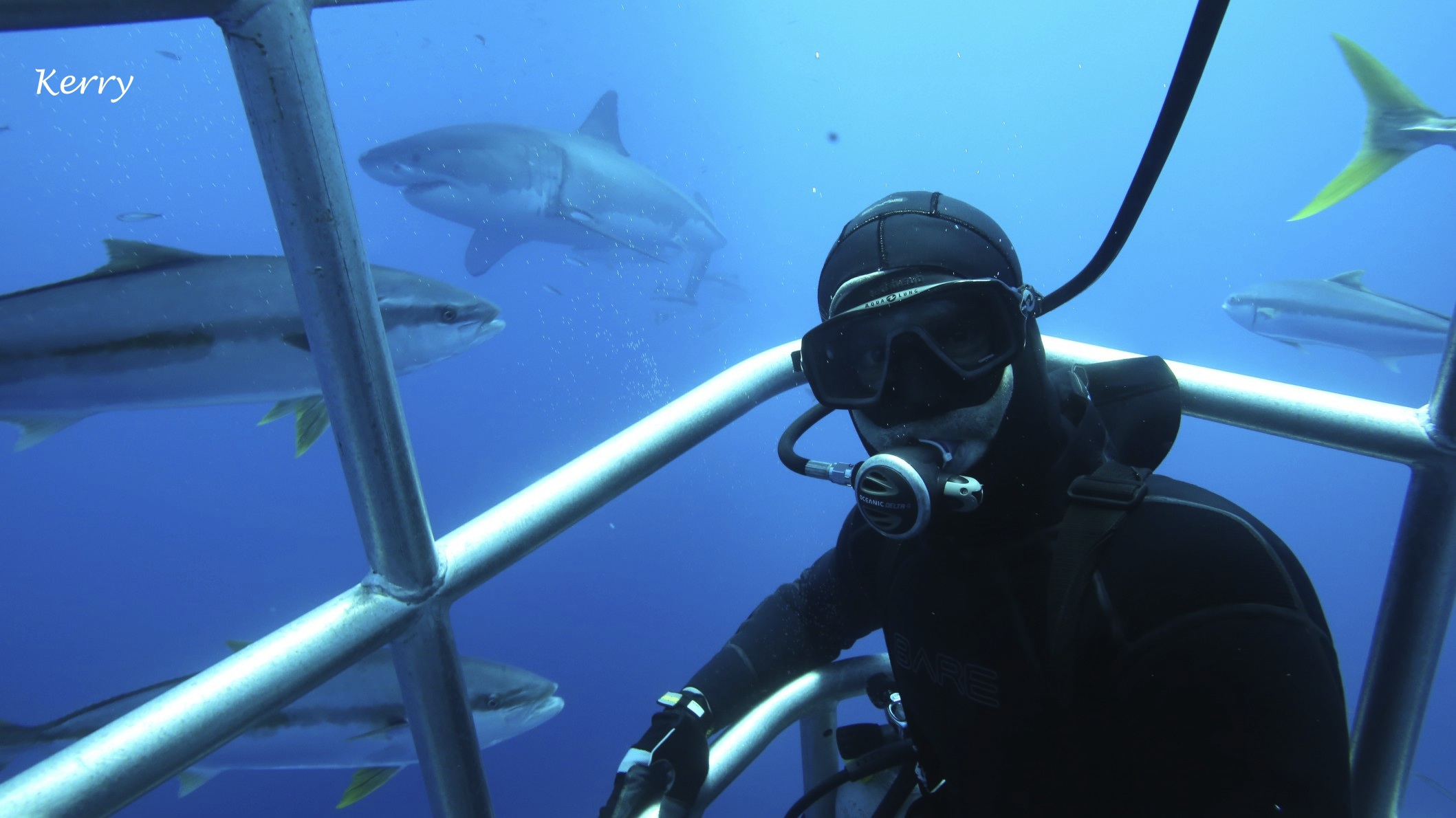 great white shark with diver in submersible cage