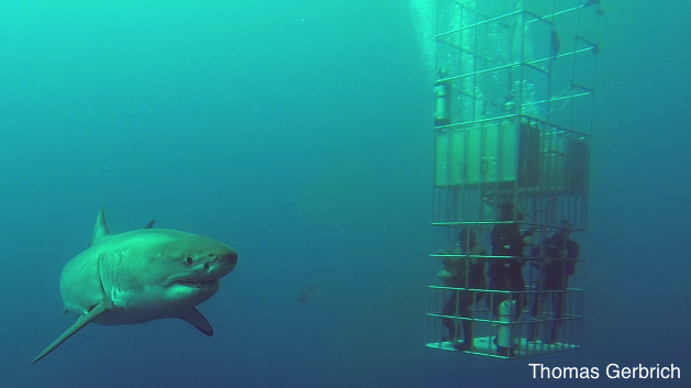 great white shark and divers in the submersible cages of the Nautilus Belle Amie