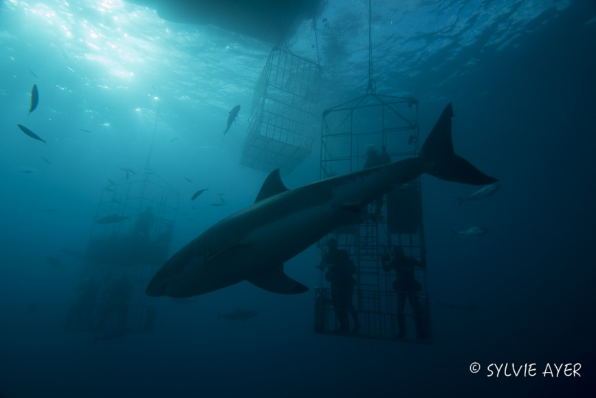 great white shark and submersible cages