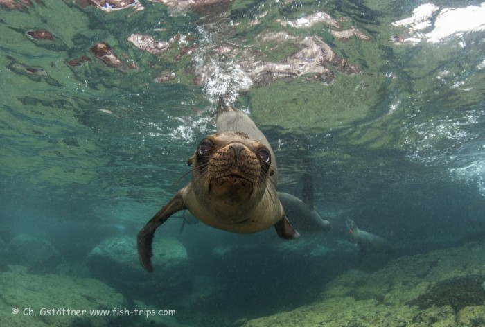 sea lion with big eyes