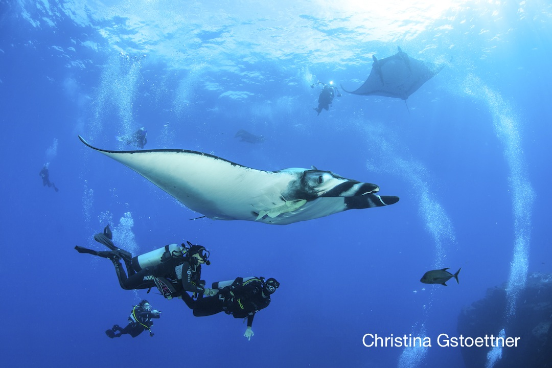 giant mantas with divers