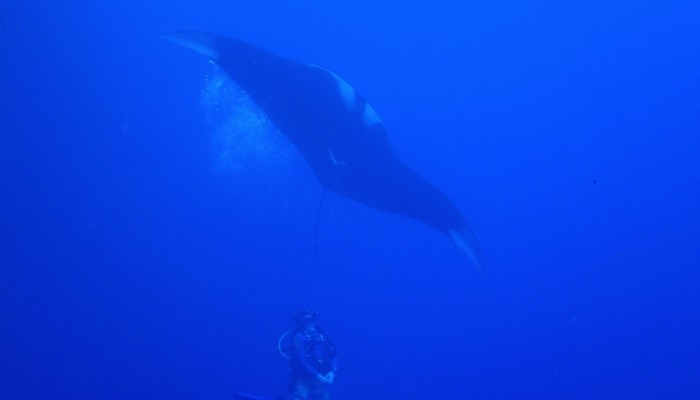 Diver watching a giant manta dance