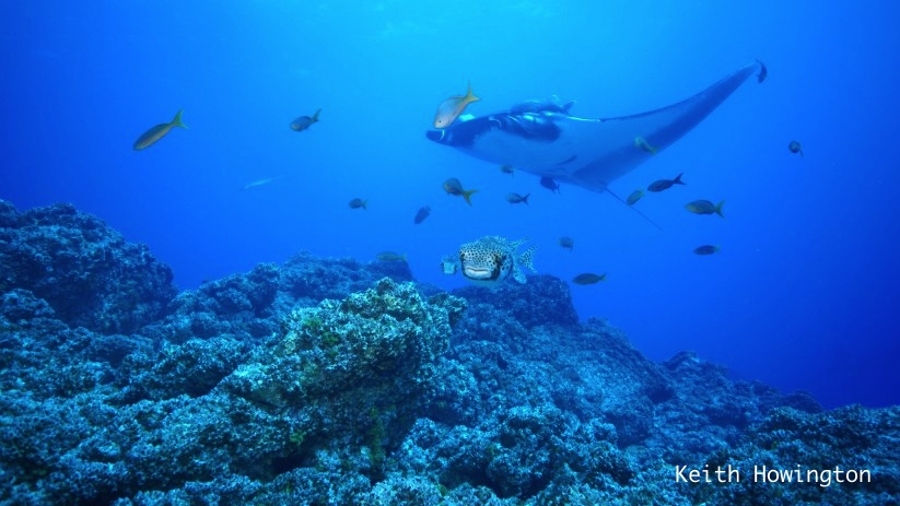 giant manta with a puffer fish