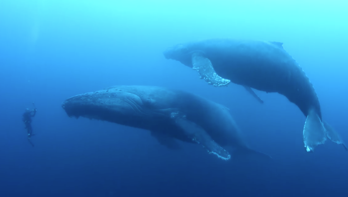 snorkeling with hump back whales in Socorro