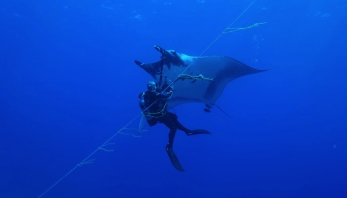 lined decent diver with giant manta