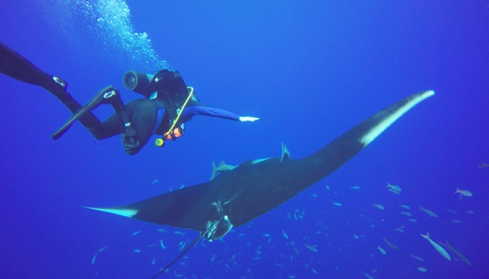 Diver swimming over a giant manta at socorro island