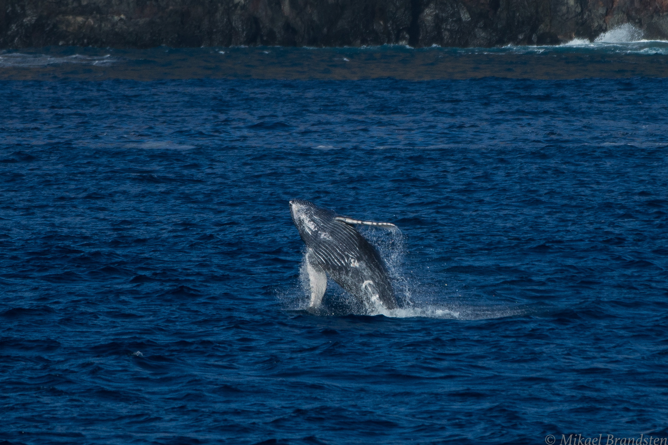 baby whale jumping