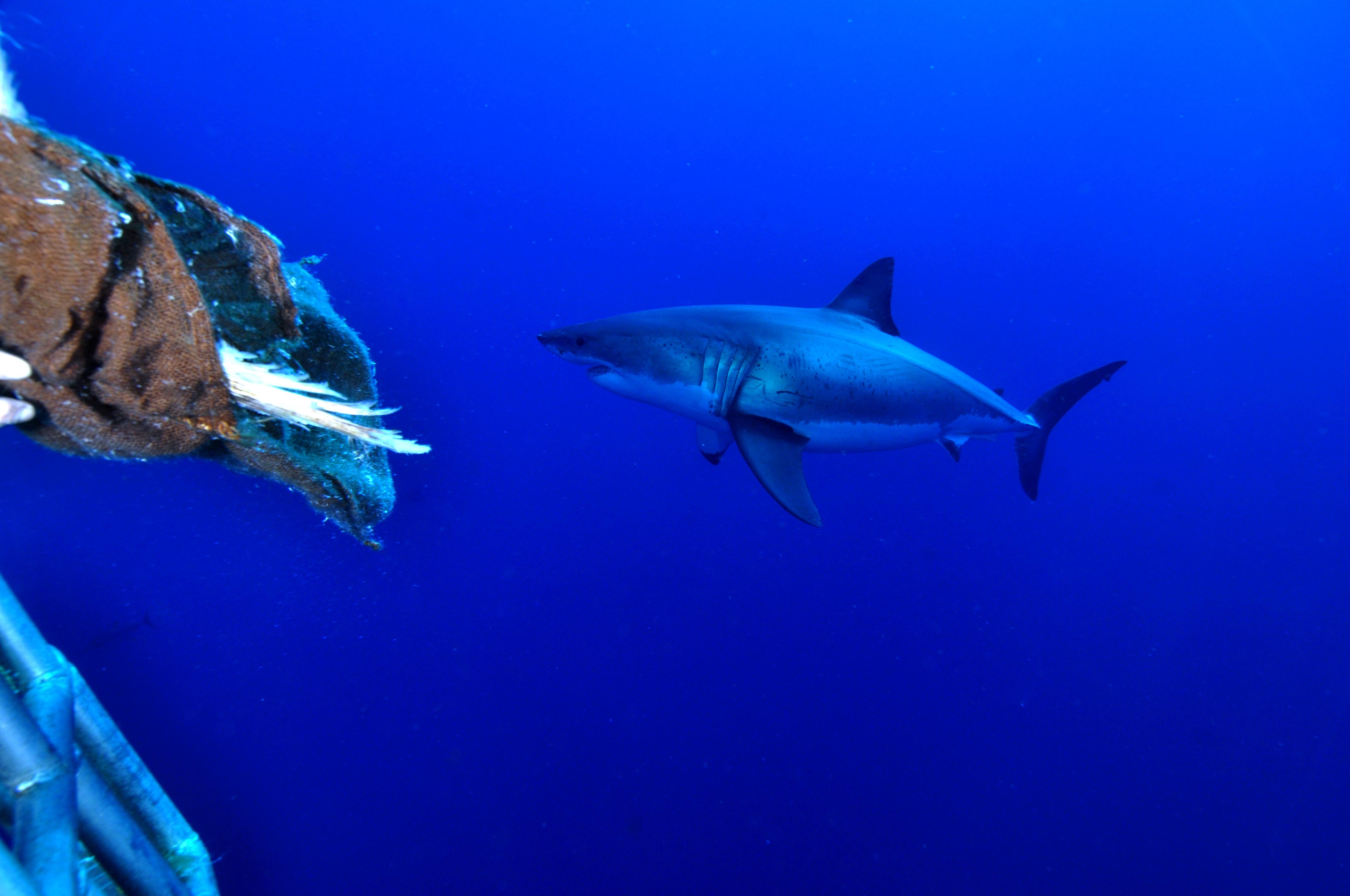 White shark edit 21