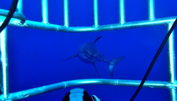 Whit shark edit 22