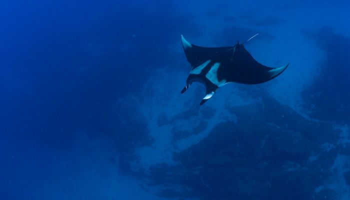 manta ray swimming san benedicto
