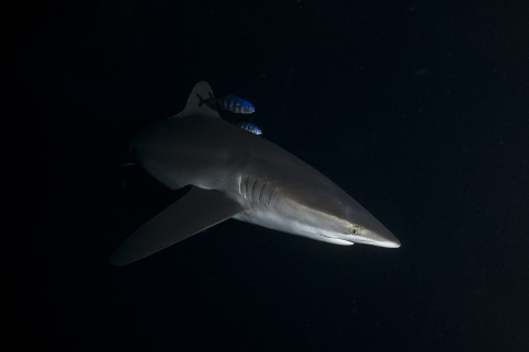 silky shark swimming