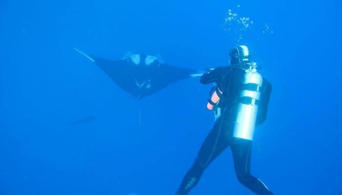 diver meets a chevron manta