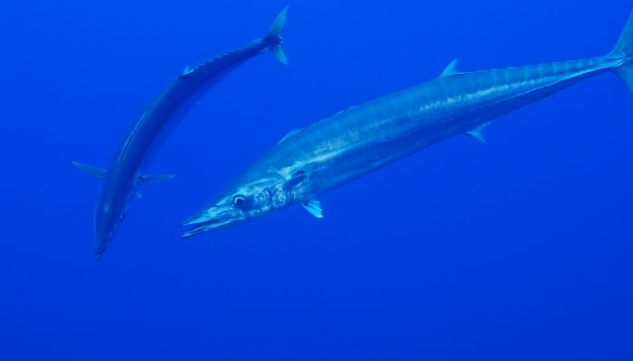 Two large wahoo fish