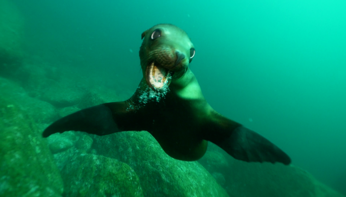 young sea lion in sea of cortez