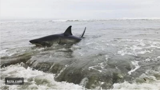 great white shark trapped