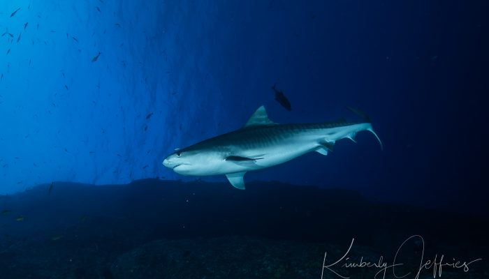 Tiger shark drifts at roca partida