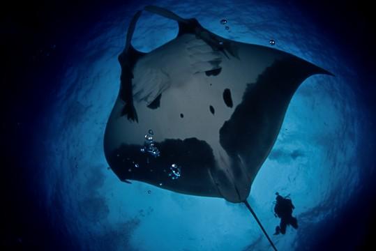 diver pursues giant manta