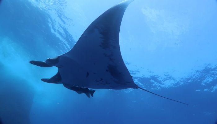 "Manta ""flying"" at Roca Partida"