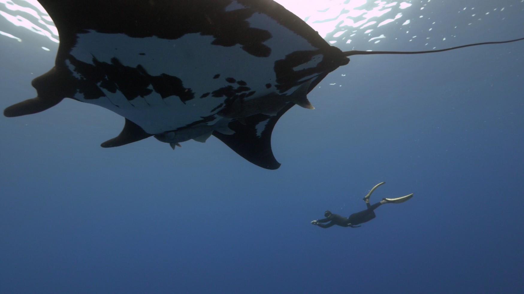 the mantas dwarf the divers at socorro