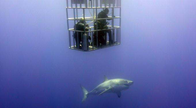 cage divers get a good look at great white