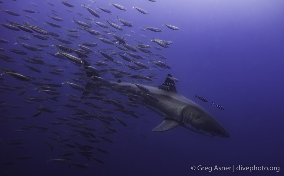 school of fish follow the great white shark