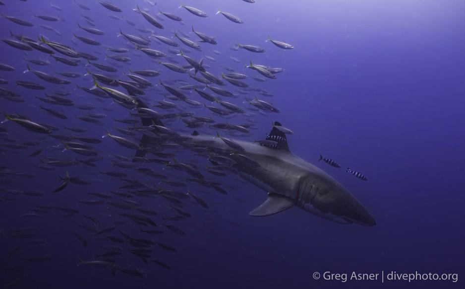 school of fish follow the great white shark