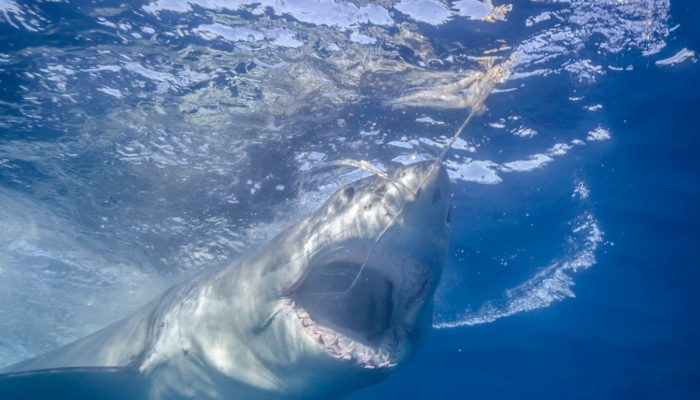 great white chases the wrangler's tuna bait