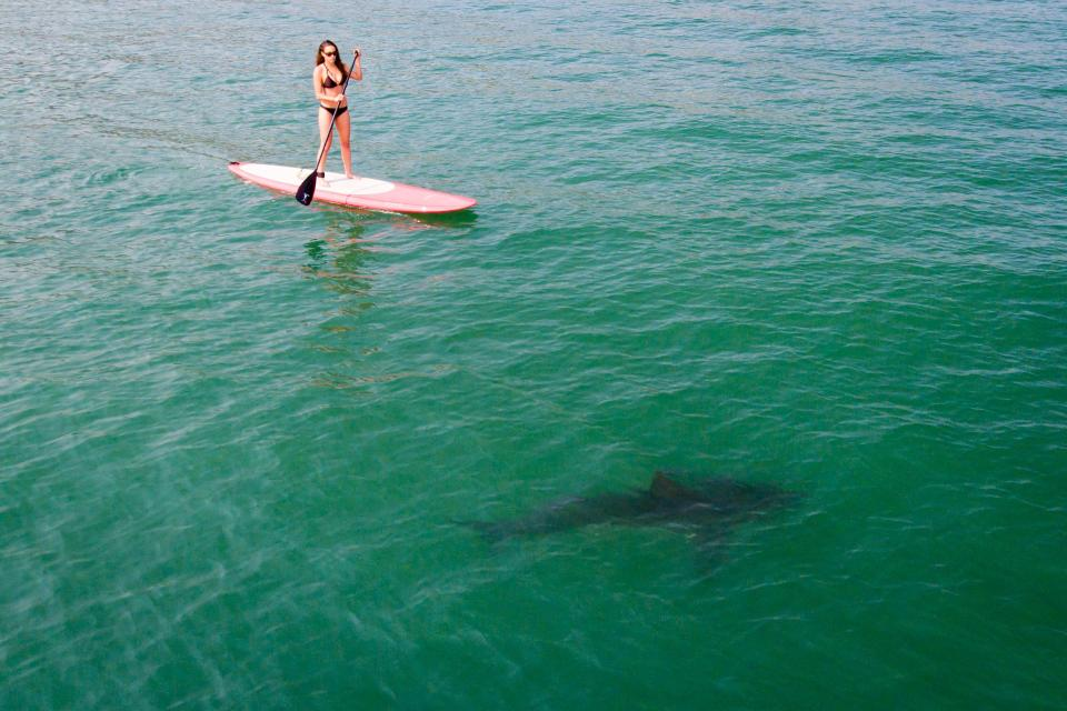 great white shark and paddleboarder