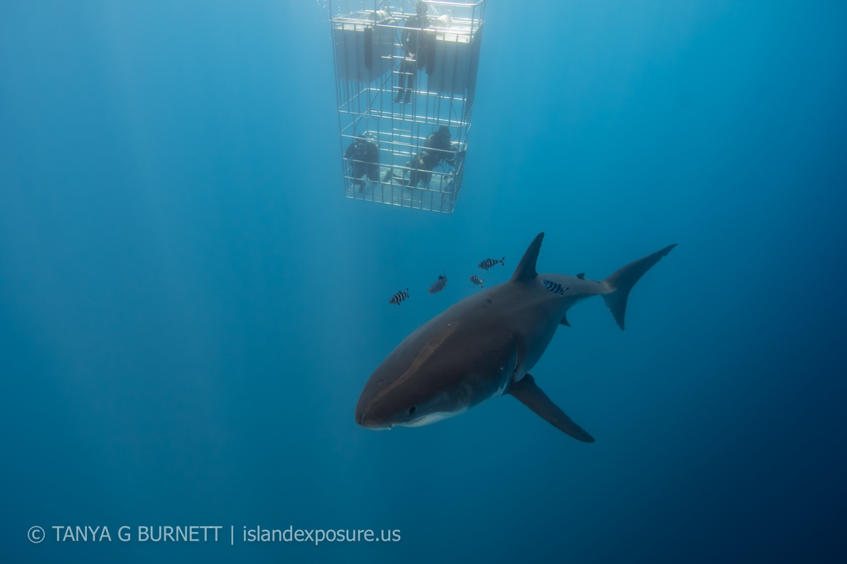 great white and entourage pass the dive cage
