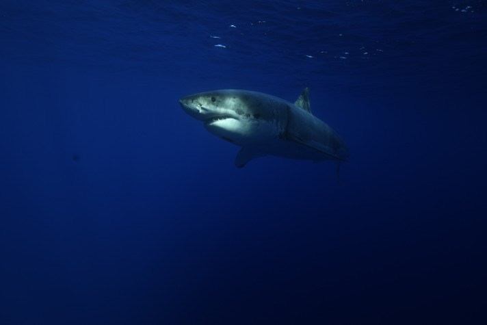 great white emerges from the deep blue