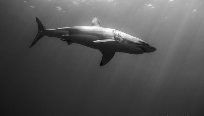 great white basking in the sun black and white photo