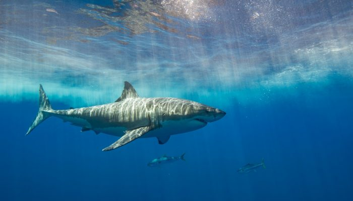 great white shark amidst the sparkling blue water