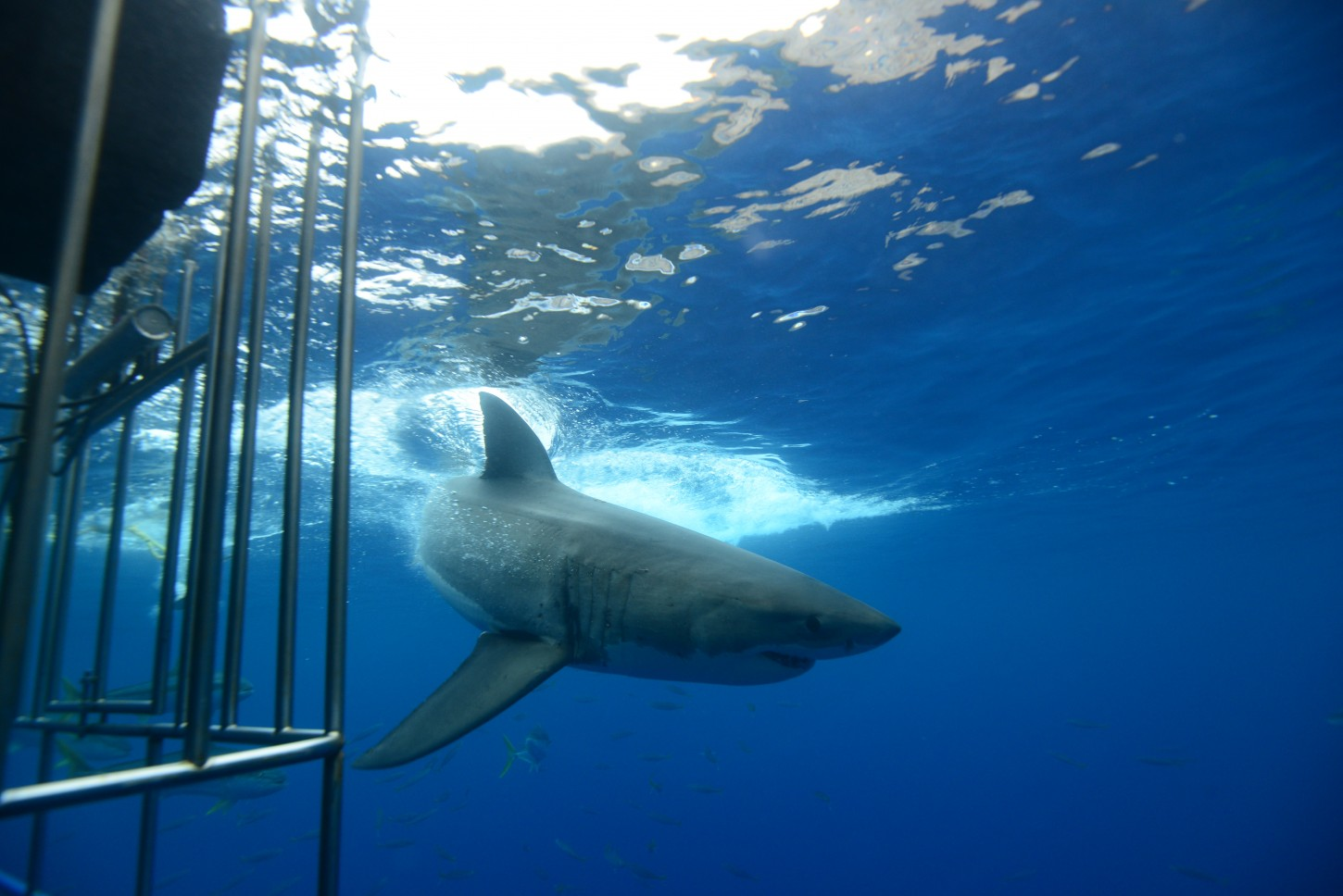 water turned by large great white shark