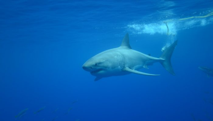 great white shark misses the tuna bait