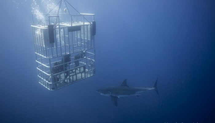 three divers watch great white pass under