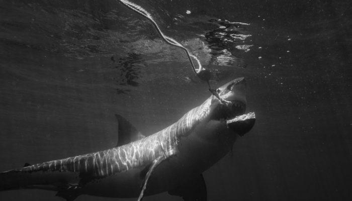 shark chomps the tuna bait